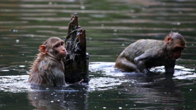 Sejumlah monyet melompat ke dalam kolam di tengah meningkatnya suhu Allahabad, India, Selasa (26/5/2020). Sejauh ini tidak ada laporan kematian akibat gelombang panas di India. (SANJAY KANOJIA/AFP)